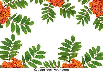Rowan Ash Berry Fruit Background