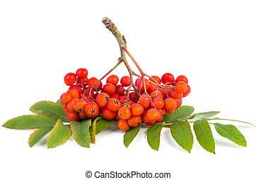 Rowan (ashberry) cluster - Ashberry cluster with red berry ...