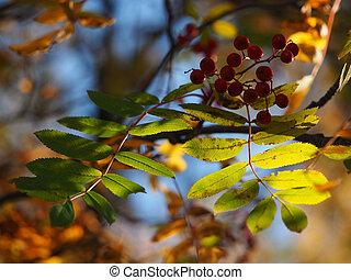 rowan autumn
