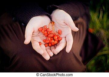rowan, bayas, regalos, de, otoño