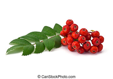 rowan berries and leaves - berries and green leaves of rowan...