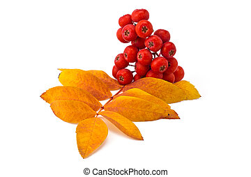 rowan berries and leaves - berries rowan and autumn leaves ...