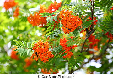 Rowan berries - Bright rowan berries on a tree