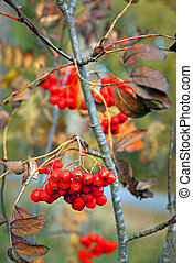 Rowan berries - close up of bunch of rowan berries in autumn