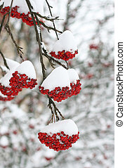 Rowan berries covered in snow