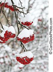 Rowan berries covered in snow