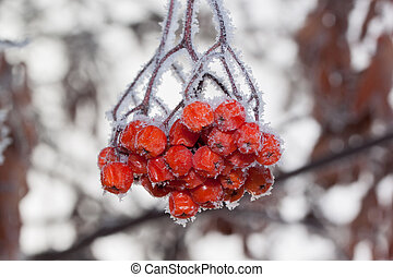 Rowan berries covered with snow and hoarfrost. Close up.