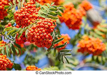 Rowan berries grow on a tree
