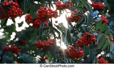 Rowan berries in summer sunset