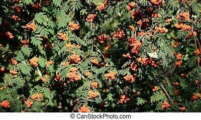 Rowan berries in sunset light - Rowan berries in the sunset...