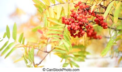 Rowan berries in the autumn with red leaves - Rowan berries...