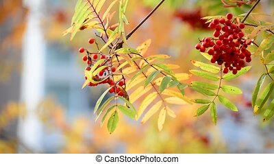 Rowan berries in the autumn with red leaves