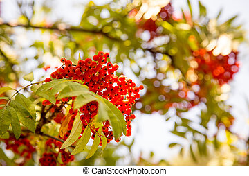 Rowan berries, Mountain ash (Sorbus) tree with ripe berry