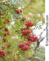 Rowan berries, Mountain ash tree with ripe berry