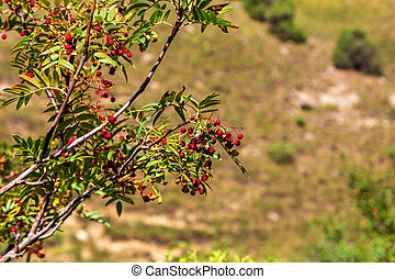 Rowan berries on a background of autumn mountains. Red ripe berries in the wild.