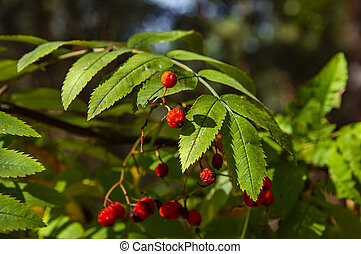 Rowan berries on a tree branch.