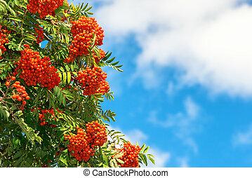 Rowan Berries on a tree with blue sky
