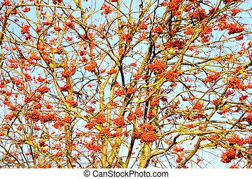 Rowan berries on the tree