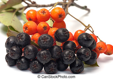 Rowan. - Berries red and black ashberry on a white ...