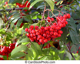 Rowan Berries - red rowan berries hanging on the tree autumn...