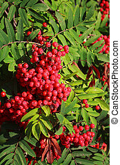 rowan berries ripening on tree close-up