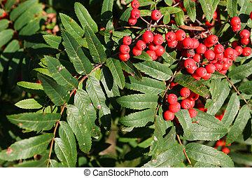 rowan berries ripening on tree