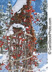 Rowan Berries under Snow