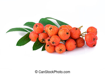 rowan berries with leaves on white background