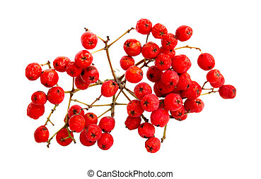 Rowan berry �n a white background