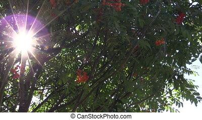 rowan berry - Rowan tree with ripe orange berries and...