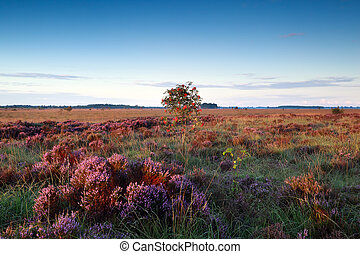 rowan berry tree on marsh with heather flowers, ...