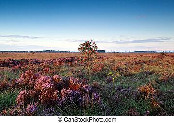 rowan berry tree on marsh with heather flowers,...