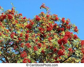 Rowan berry tree, with rowan berries, green leaves