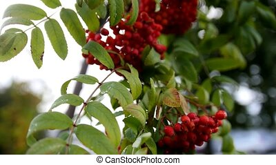 Rowan branch - at autumn russia, red berries and green...