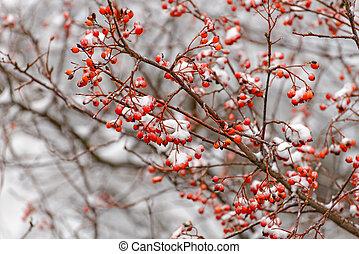 Rowan branch in the snow