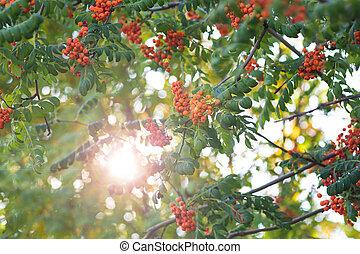 Rowan branch in the sunshine
