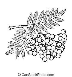 Rowan branch on a white background