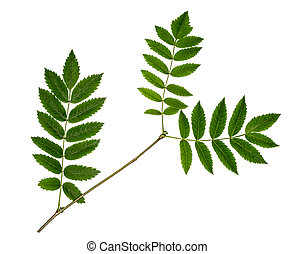 Rowan branch on white background. Three green leaves of mountain ash