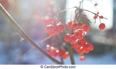 rowan branch red berries nature winter snow on a blue...