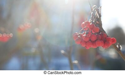 rowan branch red berries winter nature snow on a blue...