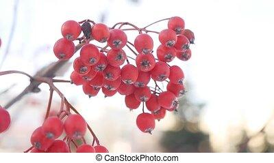 rowan branch red berries winter snow nature - rowan branch...