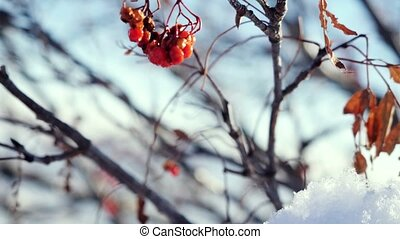 Rowan branch red berries winter beautiful nature snow on a blue background with lense flare effects