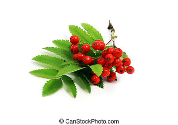rowan branch - twig and berries of mountain ash over white