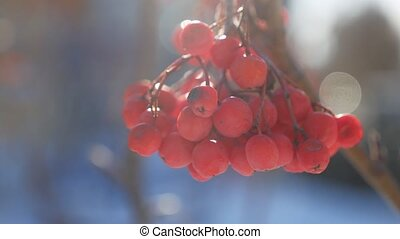 rowan branch winter red berries nature snow on a blue...