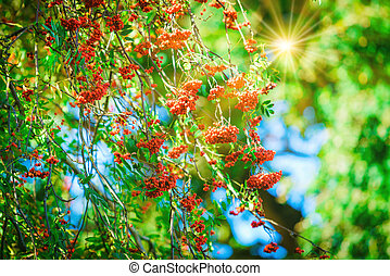 Rowan branch with a bunch of red ripe berries