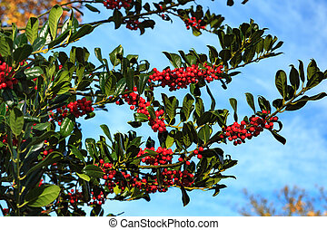 Rowan branch with a bunch of red ripe berries.
