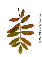 Rowan branch with bright colorful autumn leaves on a white isolated background close up