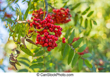 Rowan branches covered with beautiful red berries. Total captured one of the autumn mornings. Mountain ash branches. Rowan berries ripen on the tree.