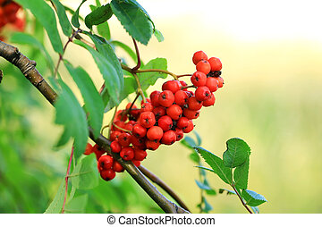 rowan bunches on a tree branch
