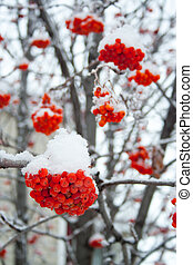 Red rowan berries covered by snow at winter cold day